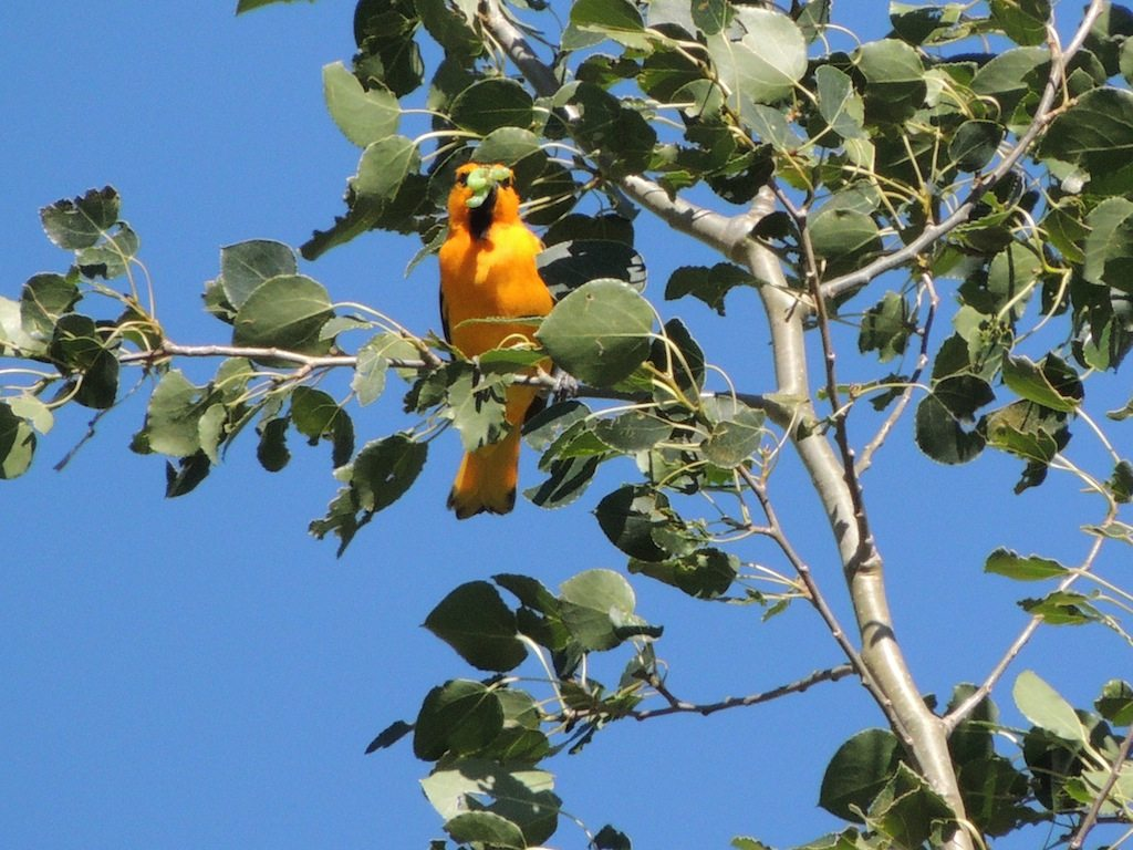 Oriole With Caterpillar Resized