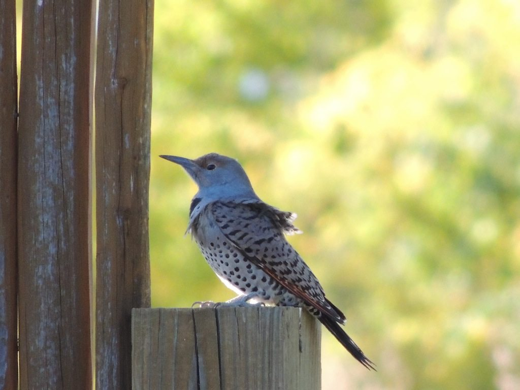 Female Flicker Resized