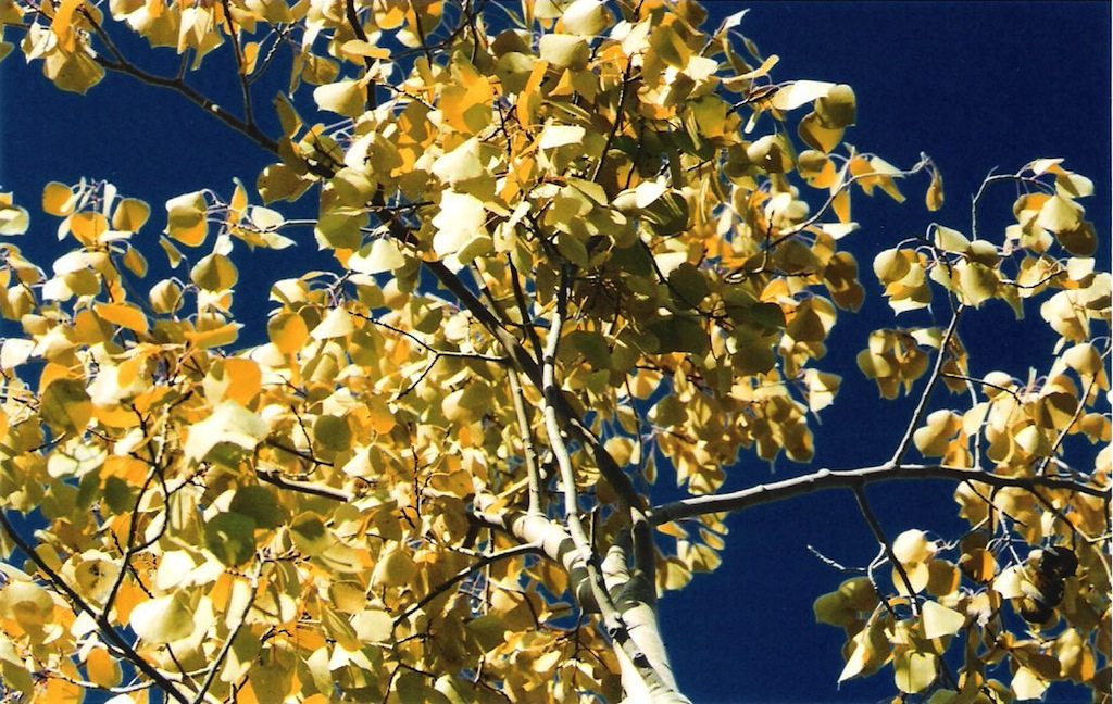 Yellowing Aspen Leaves Resized