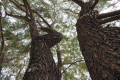 Willows Reaching Resized