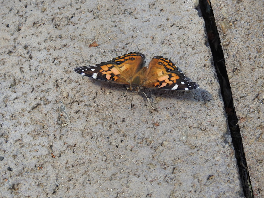 American Painted Lady Resized