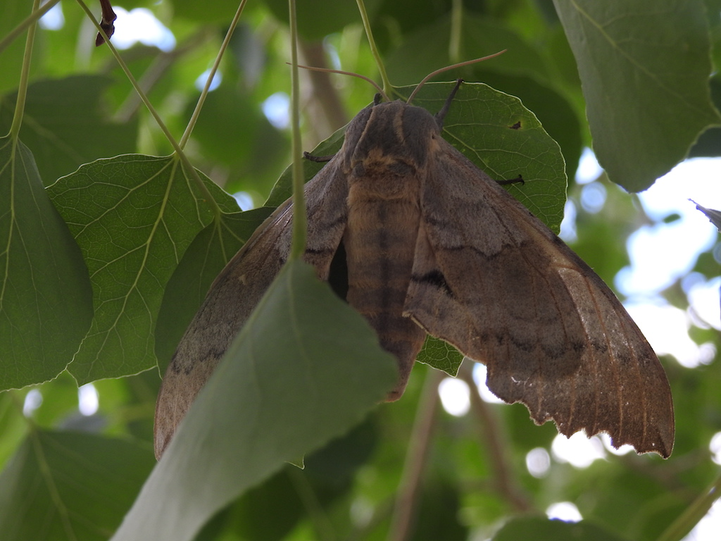 Hawk Moth 2 Resized