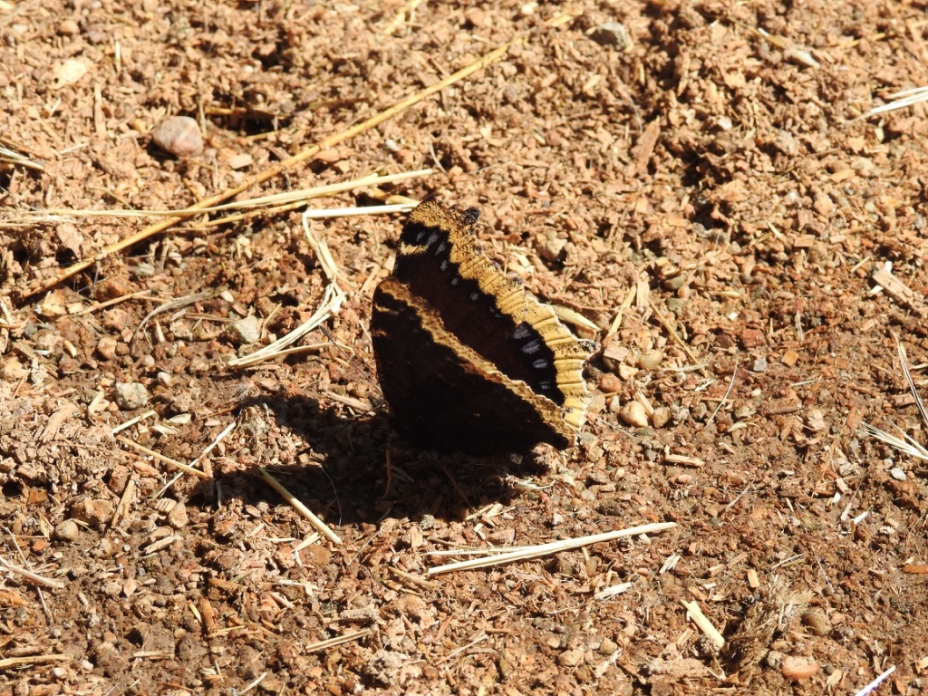 Mourning Cloak Resized