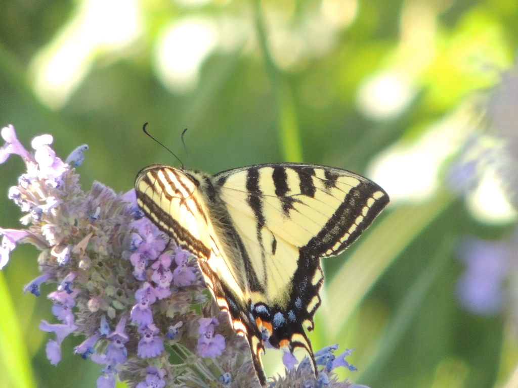 Western Tiger Swallowtail Resized