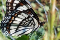 White Admiral Underside By Wings Resized