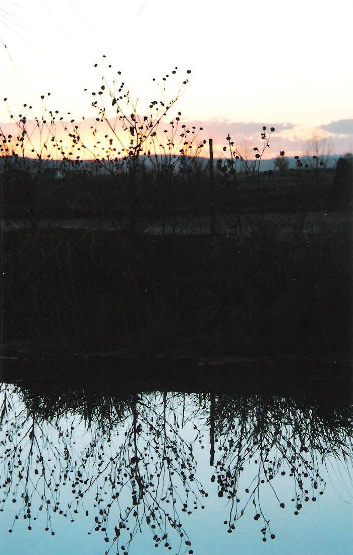 Reflection - Sunflowers at Dusk