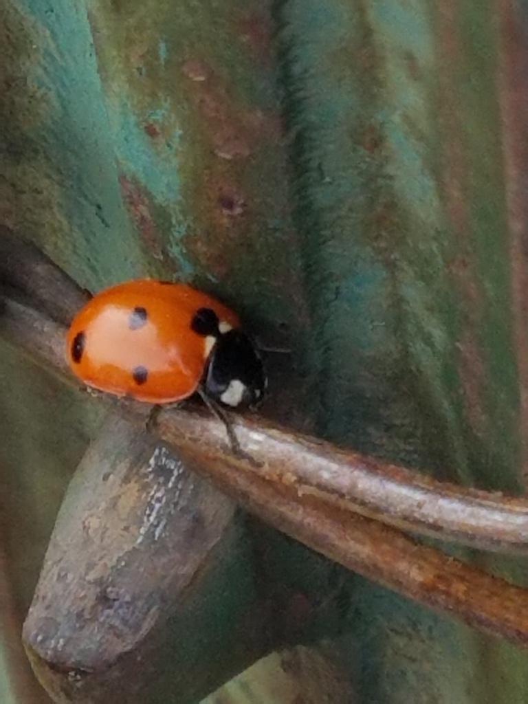 Ladybug 1 050618 Resized
