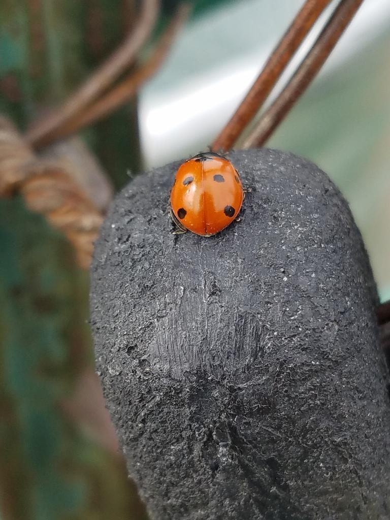 Ladybug 2 050618 Resized